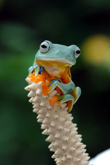 Wall Mural - Beautiful javan tree frog sitting on bud