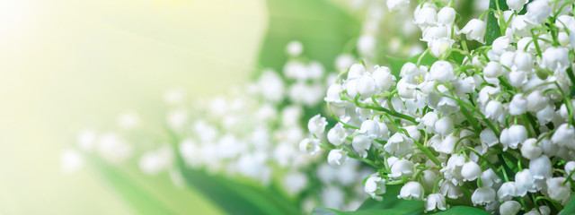 Fotobehang Lelietje van dalen Lily of the valley (Convallaria majalis), blooming spring flowers, closeup with space for text. Horizontal spring background, banner, panorama.