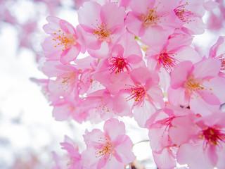Photo sur Plexiglas Rose banbon 【静岡県伊豆の国市】満開の桜【河津桜】
