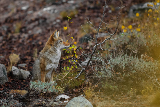 Wild Coyote in Sierra mountains