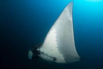 Fototapete - Oceanic Manta Ray (Manta birostris)