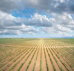 Wall Mural - Panorama of  big vineyard agrecultural meadow.