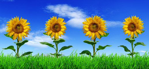 Wall Mural - Row of sunflowers on green grass - panorama