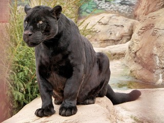 A panther sits on a stone in a zoo.