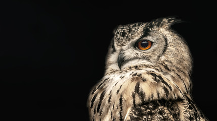 Wall Mural - Panoramic photo of a horned owl in a half profile on a black background.