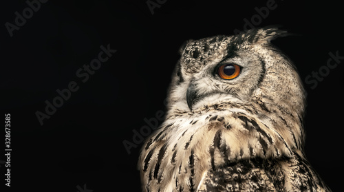 Wall mural Panoramic photo of a horned owl in a half profile on a black background.
