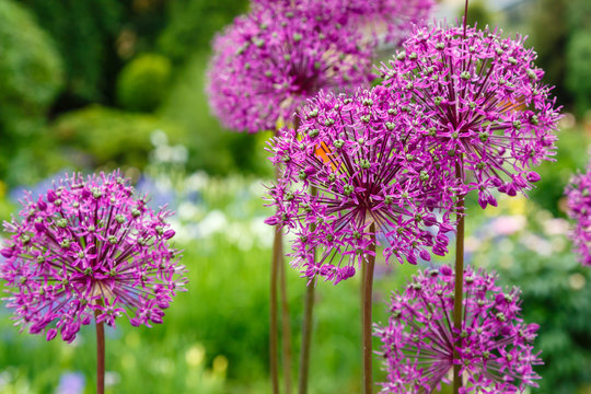 Giant Onion (Allium Giganteum) blooming. Field of Allium / ornamental onion. Few balls of blossoming Allium flowers. Beautiful picture with Alliums for the gardening theme.