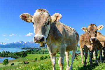 Wall Mural - Jungvieh-Herde auf einer herrlich gelegenen Weide im ostallgäuer Alpenvorland