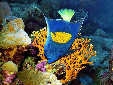 Angelfish poses very picturesque in front of a coral for this underwater photographe. A dive in the Red Sea, Egypt