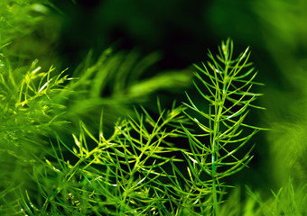 Wall Mural - Freshness green fine leaves of Asparagus fern on natural background