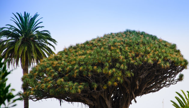 Palm tree babassu with green leaves against the sky