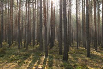 Przedwiośnie. Mglisty poranek w so0snowym lesie.