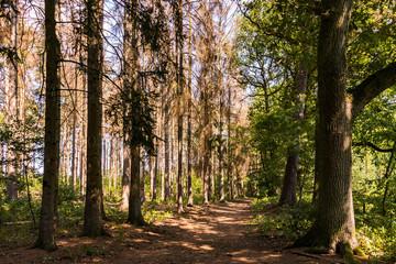 Ein Waldweg mit kranken Bäumen in der heißen Sommersonne