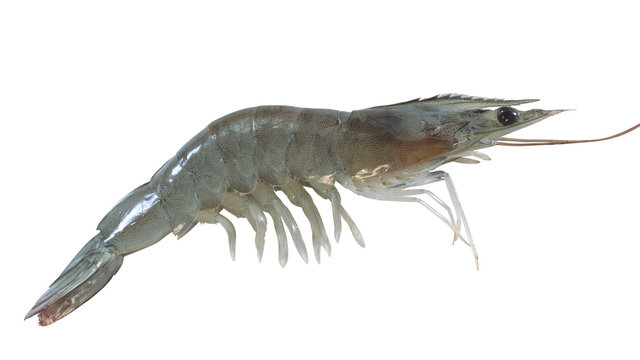 white shrimp on white background