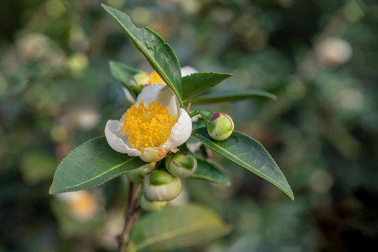 The tea trees in the tea garden have white and yellow flowers