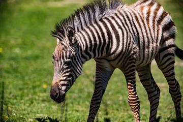 Ein schwarz-weiß gestreiftes Zebra auf Streifgang in Gras