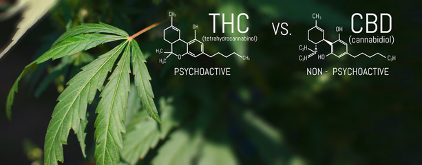 CBD THC Chemical Structural Formula, Cannabis Industry, Growing Hemp, Pharmacy Business, CBD Elements and THC in Marijuana and Medical Health. Wall mural