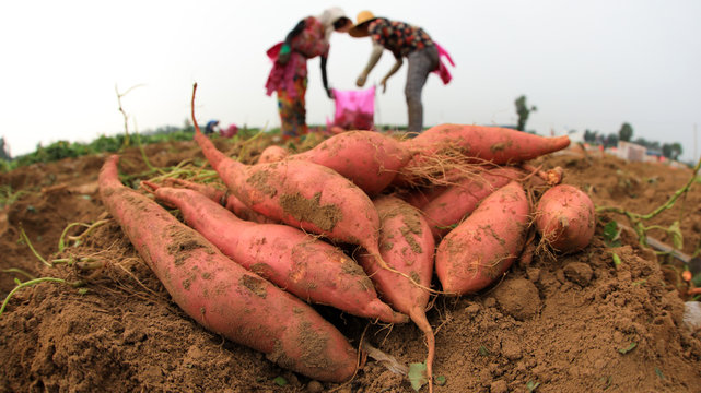 Farmers harvest sweet potato on a farm in Luannan County, Hebei Province, China.