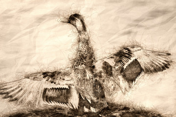 Wall Mural - Sketch of a Mallard Duck Resting on the Cool Water with Wings Outstretched