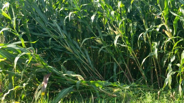Corn plants damaged by the wind. Less strong roots make plants easy to collapse