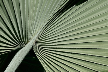 Texture of the fan palm Bismarkia Nobilis from Madagascar at Majorelle Garden Marrakech