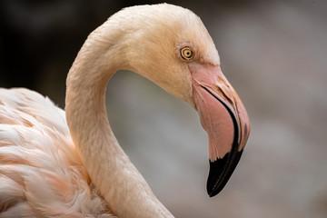 Foto op Canvas Flamingo portrait of pink flamingo
