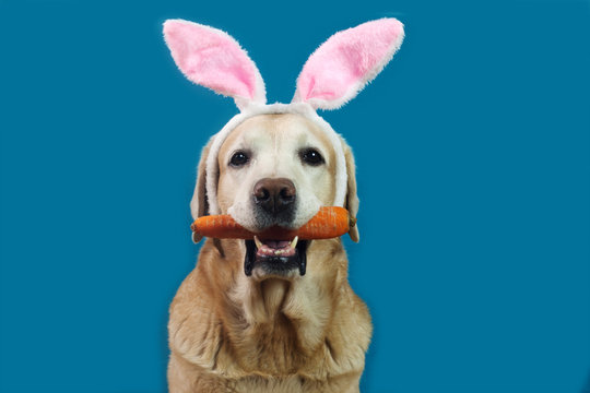Cute labrador dog wearing Easter bunny's ears holding fresh carrot, blue background