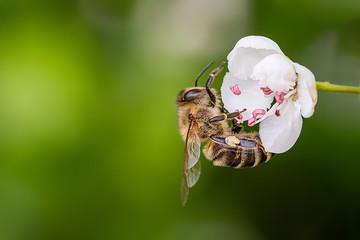 Fototapeta Close-up of a heavily loaded bee on a white flower on a sunny meadow obraz