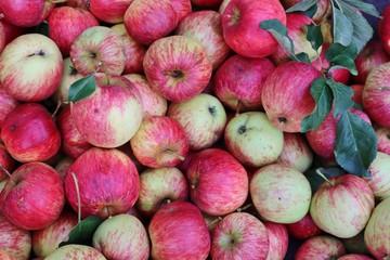Fotorollo Rosa Apfel, Apfelernte