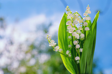 Photo sur Aluminium Muguet de mai Flower Spring Lily of the Valley Background Horizontal. Natural nature background with blooming beautiful flowers lilies of the valley lilies-of-the-valley. Lily of the valley. Blooming lily.