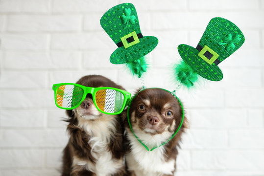 two funny chihuahua dogs posing for st patrick day indoors