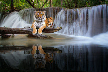 Wall Mural - Tiger sit in waterfall in deep wild