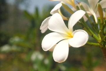 white plumeria flower on tree