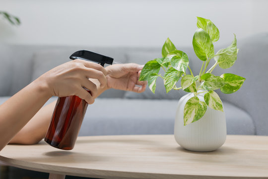 The woman is spraying Liquid fertilizer the foliar feeding on the golden pothos on the wooden table in the living room.
