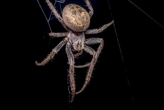 Spider on black background ( Nuctenea umbratica ),  the walnut orb - weaver spider - macro, closeup