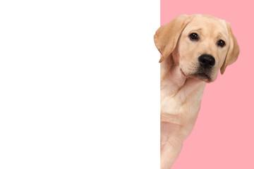 Portrait of a cute labrador retriever puppy on a pink background looking around the corner of an yellow empty board with space for copy Fotomurales