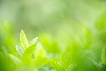 Beautiful nature view of green leaf on blurred greenery background in garden with copy space for text using as summer background natural green plants landscape, ecology, fresh wallpaper concept. Wall mural