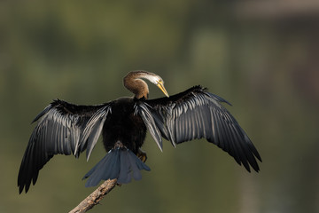 Oriental Darter Spread Wings At Bharatpur Rajasthan India