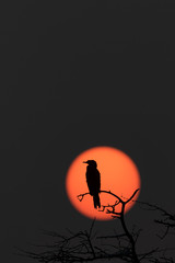 Silhouette of Cormorant From Bharatpur Rajasthan India