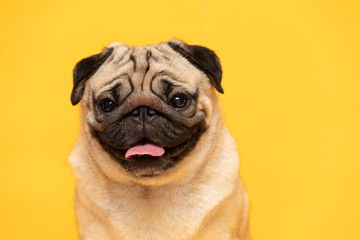adorable dog pug breed making angry face and serious face on yellow background,Happy dog smile ready to summer,Pug Purebred Dog Concept Fotobehang