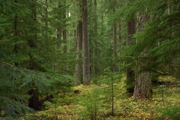 Moss covered spruce dark forest in Oregon in the US Pacific Northwest.