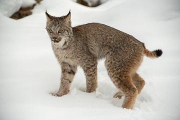 Tuinposter Lynx Bobcat in winter