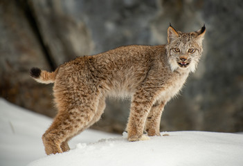 Tuinposter Lynx Siberian Lynx in winter
