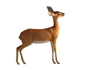 Antelope Damara Dik Dik isolated on white
