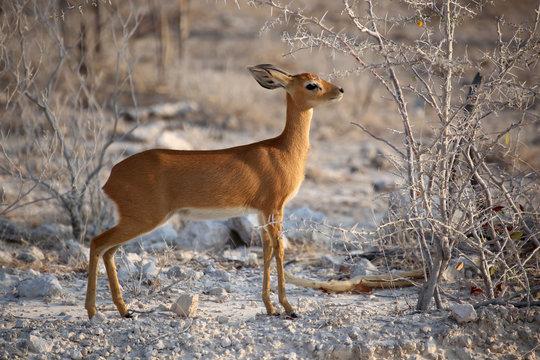 Antelope Damara Dik Dik