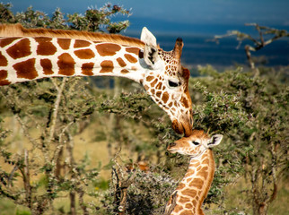 Printed kitchen splashbacks Giraffe Mother giraffe kissing baby giraffe in Kenya
