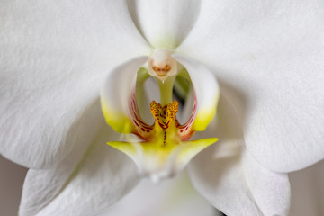 Poster Orchid Orchidee weiss gelb makro