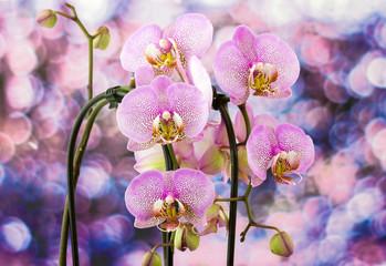 Beautiful pink orchid  - phalaenopsis