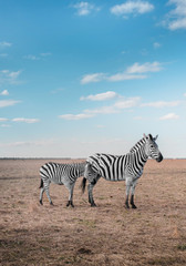 Wall Murals Zebra A zebra with her baby walks on a deserted field on a summer day in a national park
