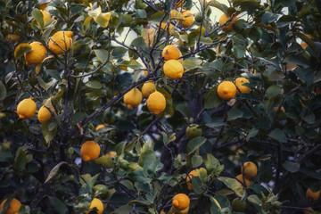 Sicilian Lemon Garden